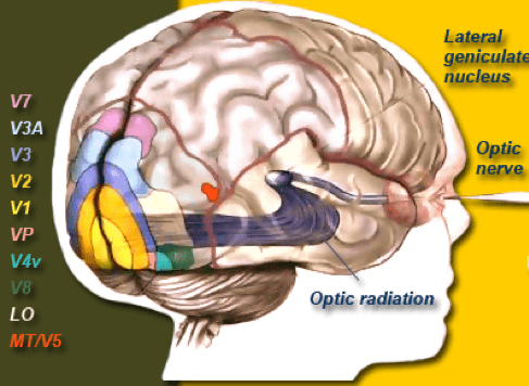 Human visual cortex and its different layers
